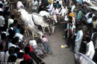 """بالفيديو وبالصور.. طقس غريب لهندوس تدهسهم الأبقار لـ""""تجلب الحظ"""""""