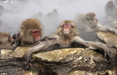 قـــرود الثلـــج اليابانيه تقضي وقتها منتجعات المياه الساخنه 9998355036.jpg