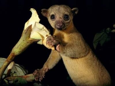 حيوان الكنكاجو.. تتناول الفاكهة وتستخدم لسانها لاكل العسل 9998359553.jpg