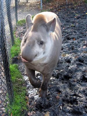 حيوان التابير الذي يشبه الخـنزير