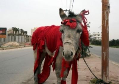 """""""حمار الحب"""" يظهر بالأردن للعام السادس على التوالي"""