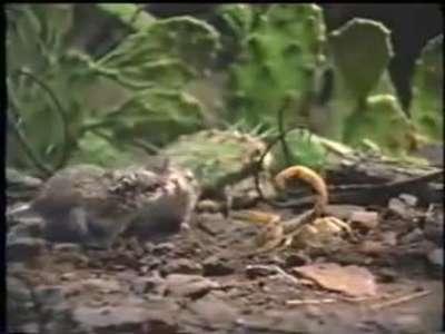 معركة البقاء بين العقرب والفئران