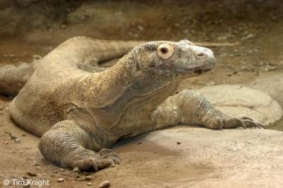 الأرول.. تمساح الصحراء