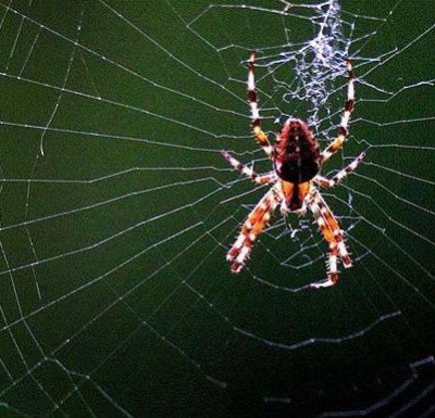 شروط زواج أنثى العنكبوت