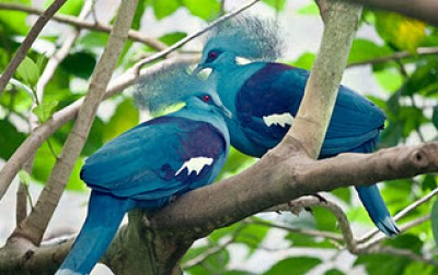 الملكة الحمامة الزرقاء المتوجة 9998377168
