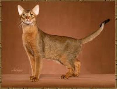 ماذا تعرف القط الحبشي؟ 9998401817.jpg