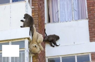 مجموعة من القردة تسطو علي عمارة سكنية في جنوب افريقيا