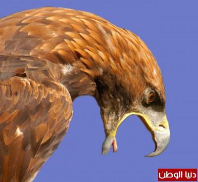 """ومعلومات أقوى الطيور الجارحة العالم """" العقاب""""2013, تقرير 9998412639.jpg"""