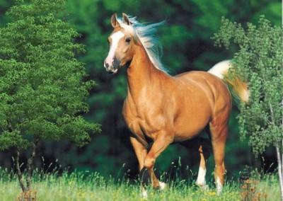 """بطونها كنز.. وظهورها عز"""" ...ما لا تعرفه عن الخيول العربية الأصيلة.. صور"""
