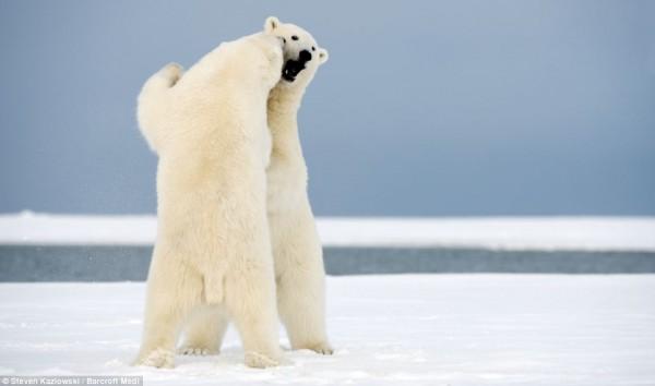 عندما ترقص الدببة فوق الجليد