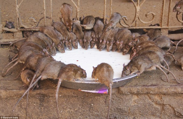أغرب معبد في العالم حيث يُعبد 20 ألف فأر