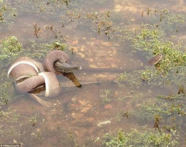 بالصور.. معركة 5 ساعات تنتهي بابتلاع ثعبان لتمساح أسترالي