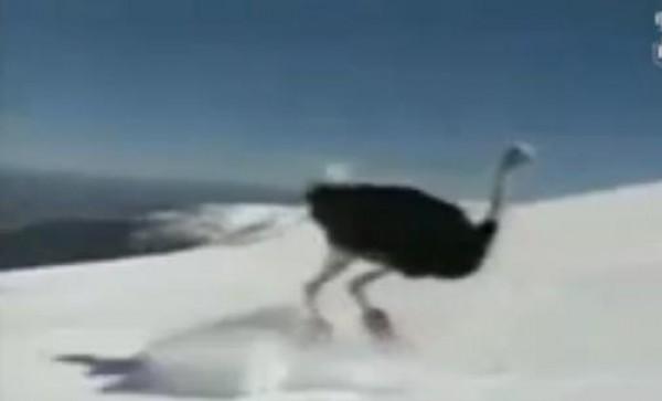 شاهد نعامة تتزلج باحتراف