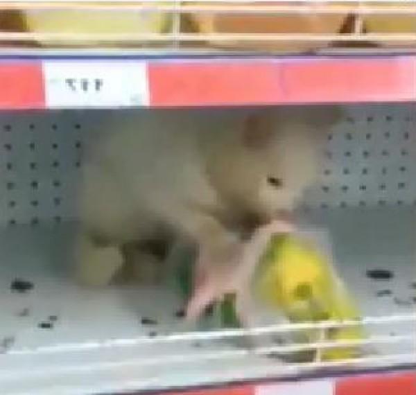 القبض على قط متلبسا يأكل دجاجة في سوبرماركت
