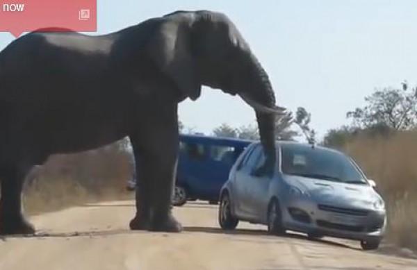 فيلة تقطع الطريق على مرور السيارات