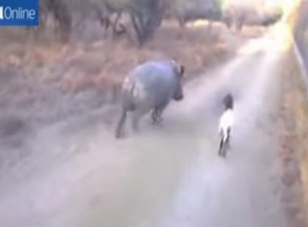 ماعز يعُلم وحيد قرن القفز