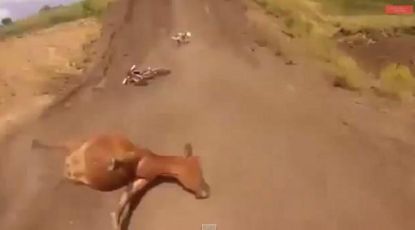 راكب دراجة رالي يصطدم ببقرة