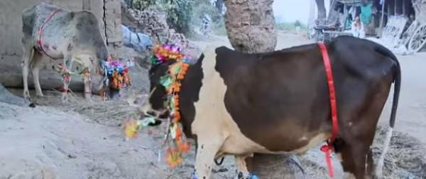 الأبقار تدوس المواطنين في الهند