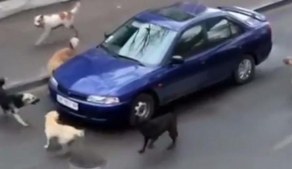 كلاب هائجة تهاجم سائق سيارة