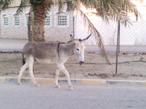 رسمياً.. لا حمير في الكويت