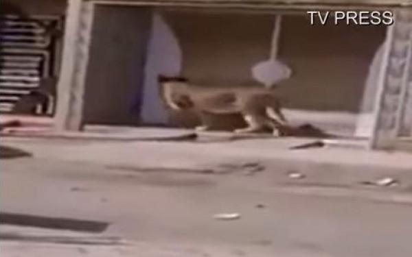 أسد يتجول وحيداً في أحد الشوارع العامة في المغرب