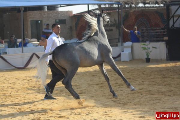بالصور...بطولة الأراضي المقدسة الأولى لجمال الخيول العربية الأصيلة بمدينة اريحا