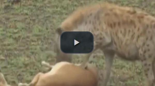 بالفيديو.. غزال ذكي يتظاهر بالموت لينجو من النمر