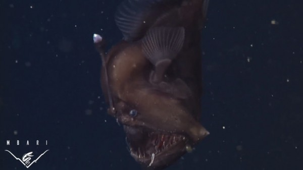 """أول فيديو لـ """"سمكة الشيطان"""" المخيفة حية في الأعماق"""