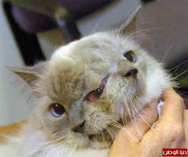 وفاة أقدم قط ذو وجهين في العالم عن عمر يناهز ال 15 عاما
