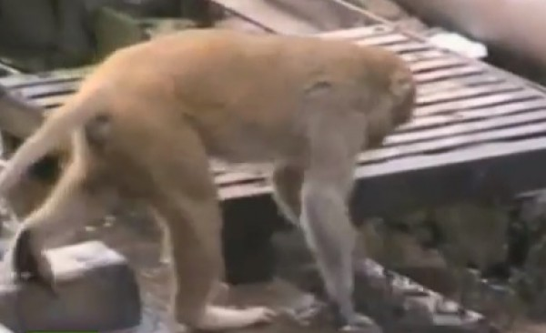 بالفيديو.. قرد ينقذ رفيقه المصاب بصدمة كهربائية