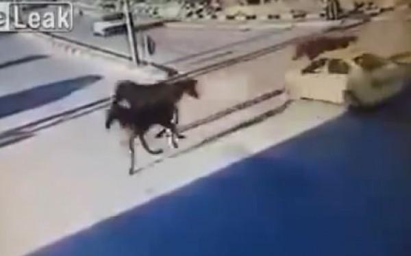 بالفيديو- حصان يطير في الهواء بعد اصطدامه بتاكسي في إحدى شوارع الضفة الغربية- فلسطين