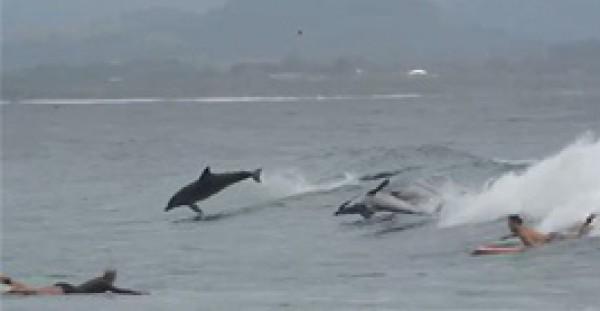 """صغير الحوت يلعب مع اثنين من """"الدلافين"""""""