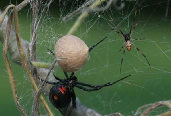 حشرة لا ترضى بالتزاوج إلا من ذكر يقدّم لها الهدية الأجمل! خمنوا نوعها؟ 9998576044.jpg