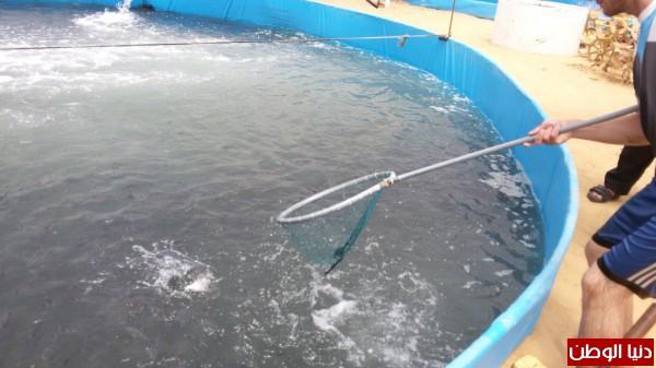 (طريقة استزراع السمك) .. بالصور: اسماك الدنيس تعود إلى غزة