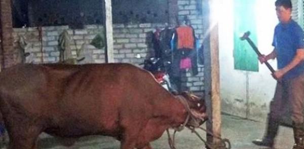بالفيديو: قتل الماشية بـ«مطرقة» يثير غضب نشطاء حقوق الحيوان