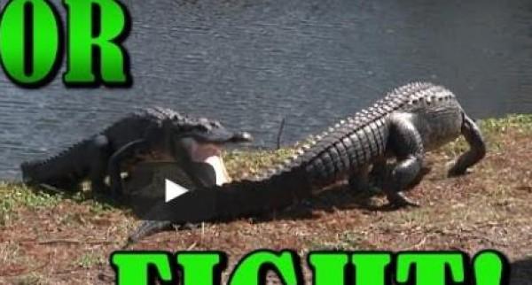 بالفيديو: معركة بالأسنان الحادة بين تمساحين