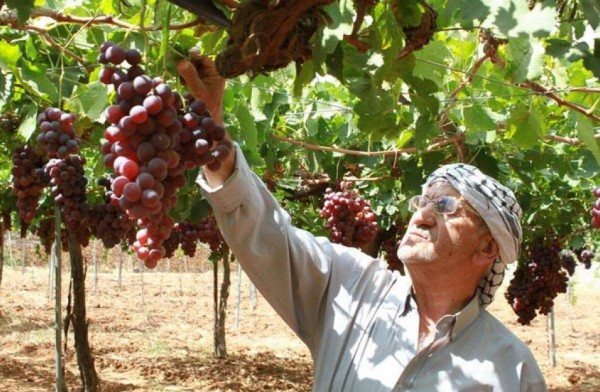 بالفيديو والصور .. مهرجان العنب من الخليل