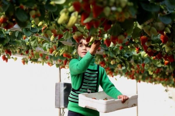 """ارتفاع سعر """"الفراولة"""" من 10 لـ 12 شيقلاً بعد قرار تصديرها للضفة"""