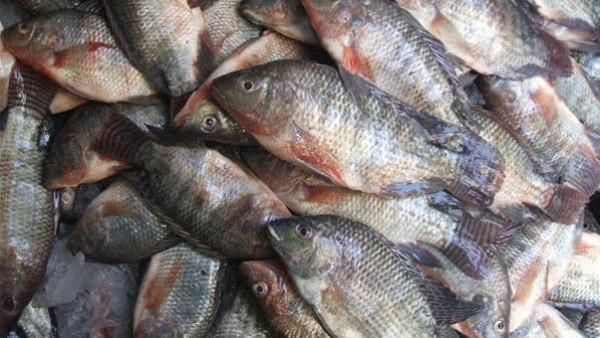 بالفيديو.. مُورد السمك المصري إلى الأسواق الغزية: لن تكون الأخيرة