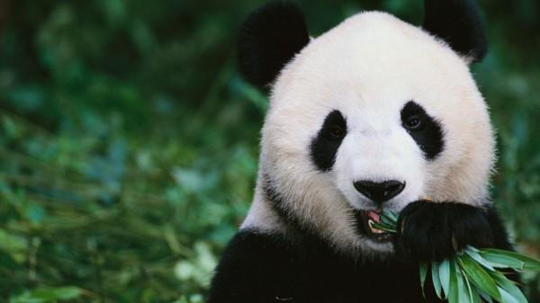 """أسرار اللون الأبيض والأسود """"الباندا"""""""