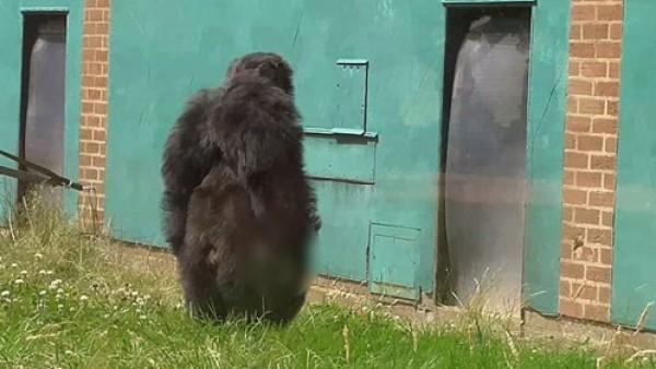 لقطات مؤثرة لأثنى شمبانزي تُنظف جثمان أحد موتى فصيلته
