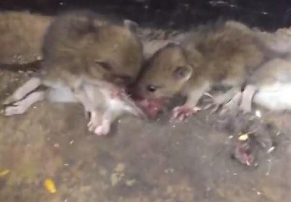 لقطات مرعبة لفئران تتغذى على دماغ زميلهم الميت