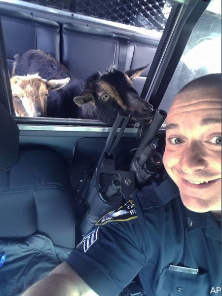 Police pick up adorable intruders: A pair of pygmy goats