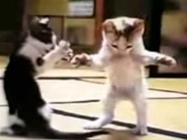 القطة المشمشية