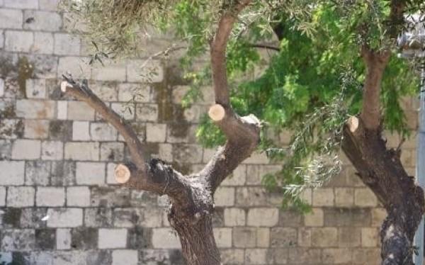 ضمن إجراءات إسرائيلية.. الاحتلال يقطع ويزيل بعض الأشجار بالقدس