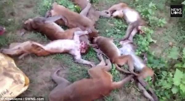 في الهند.. 12 قردا ماتوا بالسكتة القلبية لـ خوفهم من نمر