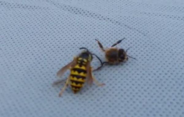 دبور يهاجم نحلة ويقسم جسمها لنصفين