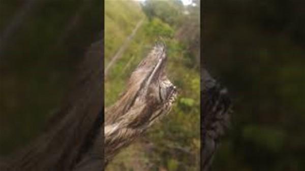 مشهد مُذهل لطائر برازيلي نادر يستخدم ريشه للتمويه
