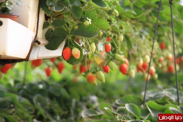 فيديو: المزارعون يفضلون تصدير الفراولة للخارج ..الزراعة: سنصدر 1500 طن بنهاية الموسم