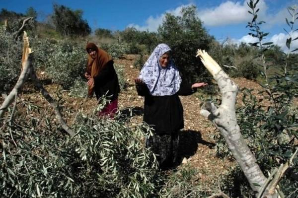 مستوطنون يحطمون 110 أشجار زيتون في حوارة بنابلس